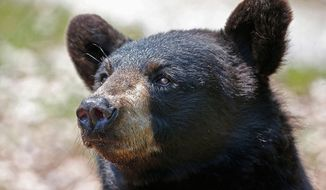 Portrait of a black bear (AP Photo)