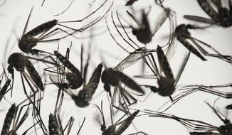 In this Jan. 27, 2016, file photo, samples of Aedes aegypti mosquitoes, responsible for transmitting dengue and Zika, sit in a petri dish at the Fiocruz Institute in Recife, Pernambuco state, Brazil. (AP Photo/Felipe Dana, File)