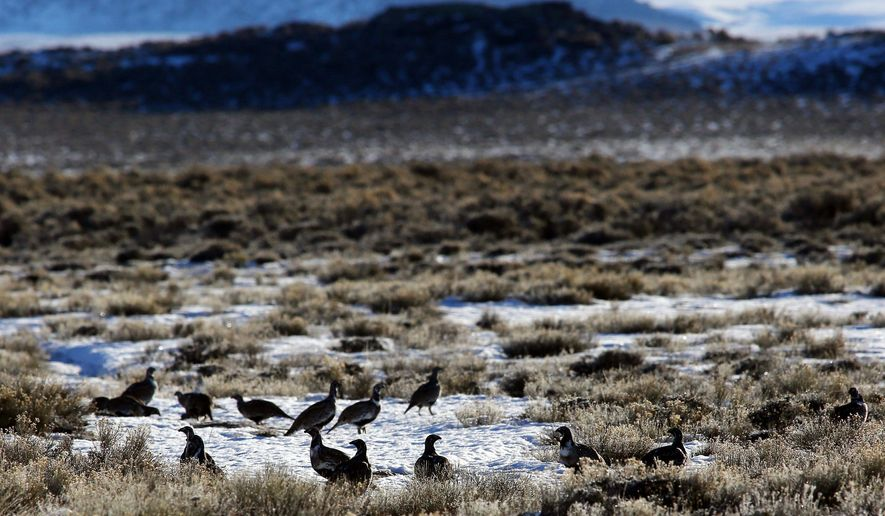 FILE - In this  Monday, Feb. 9, 2015, file photo, sage grouse gather on the prairie near Pinedale, Wyo. Concerns over a bird ranging across the American West continue to delay federal oil and gas lease sales five months after officials said they'd found a way to balance drilling and conservation. The Interior Department said it will defer the sale of almost 60,000 acres of leases in Montana as it works on policies to protect the habitat of greater sage grouse. That work is expected to take several more months. (Alan Rogers/The Casper Star-Tribune via AP, File) MANDATORY CREDIT