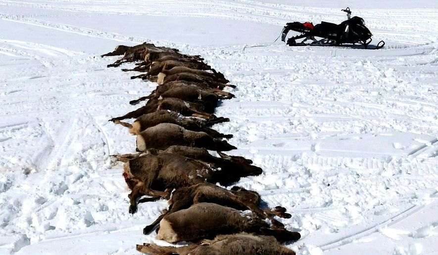 This Wednesday, March 23, 2016 photo provided by Wyoming Game and Fish Department shows elk at a state elk feed-ground that were killed by wolves near Bondurant, Wyo., without eating much, if any, of the meat. State officials pointed to the attack Tuesday night as an example of their ongoing inability to do much about major losses of elk to wolves while wolves remain protected in Wyoming as an endangered species.(Wyoming Game and Fish Department via AP)
