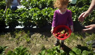 Scarlett Moore, 2, looks over the strawberries placed in her picking container by grandfather Joey Moore at Brookdale Farm in the Pungo section of Virginia Beach, Va,  on April 20, 2016. U-pick season is underway in Pungo, despite recent cooler-than-normal spring weather.  (Vicki Cronis-Nohe/The Virginian-Pilot via AP)