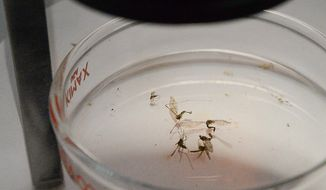 An examination dish containing dead mosquitoes sits under a microscope on Tuesday, May 17, 2016, in Brownsville, Texas. The exhibit was part of a display of tools public health offficials use to capture and combat mosquitos. A panel of local experts and officials discussed the threat Zika brings and ways to minimize its spread in the Rio Grande Valley, a major thoroughfare of international trade and travel. (Jason Hoekema/The Brownsville Herald via AP)