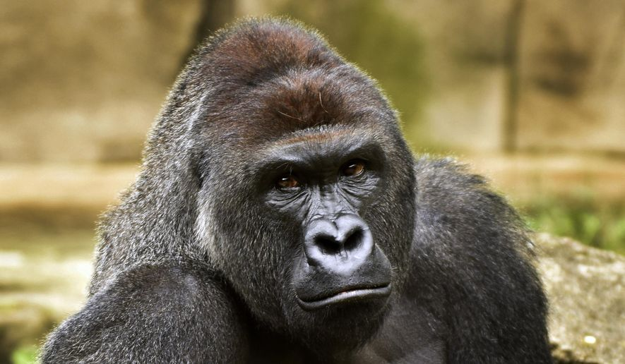 This June 20, 2015, file photo provided by the Cincinnati Zoo and Botanical Garden shows Harambe, a western lowland gorilla, who was fatally shot Saturday, May 28, 2016, to protect a 3-year-old boy who had entered its exhibit. (Jeff McCurry/Cincinnati Zoo and Botanical Garden via The Cincinatti Enquirer via AP, File)