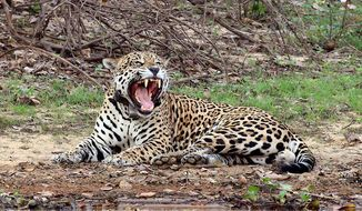 "A jaguar was shot dead by the Brazilian army just minutes after participating as a ""mascot"" for an Olympic torch ceremony in the Amazon city of Manaus. (Wikipedia)"