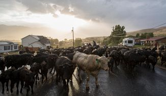 In this Wednesday, June 29, 2016 photo, Lane Pentz and his family drive their cattle up the road in Morgan, Utah. The Pentz family moved its herd of cattle along a stretch of northern Utah highway Thursday despite an ongoing dispute with state transportation officials about the practice.  (Spenser Heaps/The Deseret News via AP)