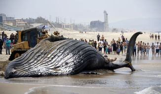 A bulldozer pushes a dead humpback whale that washed ashore at Dockweiler Beach into the ocean along the Los Angeles coast on Friday, July 1, 2016. The whale floated in Thursday evening. It is approximately 40 feet long and is believed to have been between 10 to 30 years old. Marine animal authorities will try to determine why the animal died. (AP Photo/Nick Ut)