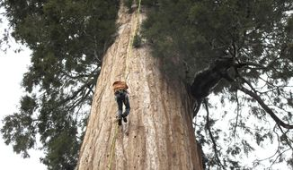 In this May 23, 2016, file photo, arborist Jim Clark inches up a giant sequoia to collect new growth from its canopy in the southern Sierra Nevada near Camp Nelson, Calif. Clark volunteers with Archangel Ancient Tree Archive, a nonprofit group that collects genetic samples from ancient trees and clones them in a lab to be planted in the forest. (AP Photo/Scott Smith)
