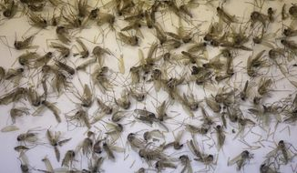 A tray of Aedes dorsalis and Culex tarsalis mosquitos are shown collected at the Salt Lake City Mosquito Abatement District near Salt Lake City. (Associated Press)