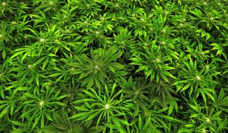 Marijuana grows at the Ataraxia medical marijuana cultivation center in Albion, Ill., on Sept. 15, 2015. (Associated Press) **FILE**
