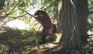 This May 18, 2016, provided by the California Department of Fish and Wildlife,photo from a remote camera set by biologist Chris Stermer, shows a wolverine in the Tahoe National Forest near Truckee, Calif. Once believed to have gone extinct in the Sierra Nevada, California wildlife biologists believe this wolverine, nicknamed Buddy, spotted this spring near Truckee, is the same one that in 2008 became the first documented in the area since the 1920s. (Chris Stermer/California Department of Fish and Wildlife via AP)