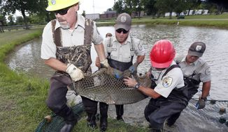 In this July 6, 2016, file photo, U.S. Fish and Wildlife Service personnel struggle with carrying an adult alligator gar to a transportation tank at the Private John Allen National Fish Hatchery in Tupelo, Miss. (AP Photo/Rogelio V. Solis)