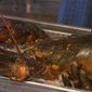 "A 15-pound lobster that activists ""rescued"" from a Florida restaurant last week died during its 1,600-mile journey to Maine State Aquarium. (ABC News)"