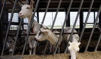 ADVANCE FOR USE SUNDAY AND THERE AFTER - In this July 22, 2016, photo, dairy goats feed at LaClare Farms near Pipe, Wis. Owners Larry and Clara Hedrich started raising dairy goats in Wisconsin in the 1970s, but there wasn't enough demand to turn their hobby into a viable business until the 1990s. The family now milks about 800 dairy goats at their facility. Wisconsin is leading the way in dairy goat farming in the U.S. and will soon house two of the largest goat dairies in the world. (AP Photo/Bryna Godar)