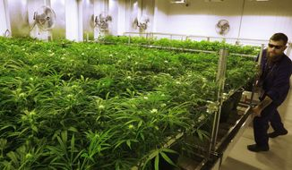 """In this Sept. 15, 2015, file photo, lead grower Dave Wilson cares for marijuana plants in the """"Flower Room"""" at the Ataraxia medical marijuana cultivation center in Albion, Ill. The deeply red state of Arkansas could be on the verge of an unusually liberal move: legalizing marijuana for people who suffer from a host of medical ailments. The fall ballot will feature two marijuana measures, and pro-pot advocates view them as an important opportunity to show that there is broad support for legalization even in conservative parts of the country, particularly the South. (AP Photo/Seth Perlman, File)"""