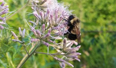 In this August 2015 photo provided by The Xerces Society, a rusty patched bumble bee collects pollen from a flower in Madison, Wis. The U.S. Fish and Wildlife Service on Thursday, Sept. 22, 2016, formally recommended this bumble bee for endangered status after reviewing reports from the Portland, Ore.-based Xerces Society that show the species has disappeared from about 90 percent of its historic range in the past 20 years. (Rich Hatfield/The Xerces Society via AP)