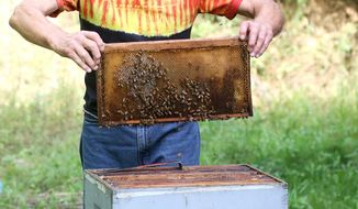 ADVANCE FOR THE WEEKEND OF SEPT 24-25 AND THEREAFTER - In this Tuesday, Sept. 6, 2016 photo, Bill Johnson checks a board for honey at Johnson Honey Farm in Guttenberg, Iowa. Beekeeping has changed significantly in the nearly 30 years Bill Johnson has had his hives. Johnson said his bees require a very close eye on their health, due in large part to the types of chemicals they are exposed to on plants. (Jessica Reilly/Telegraph Herald via AP)