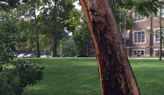 In this Sept. 22, 2016 photo, the remains of a more than 3 century-old tree located on Michigan State University's campus are shown, in East Lansing, Mich. The tree stood tall nearly 200 years before the university welcomed its first students. (RJ Wolcott  /Lansing State Journal via AP)