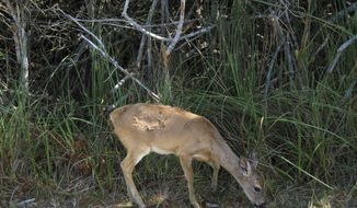 In this February 2013 file photo, a Key deer forages for food in the National Key Deer Refuge in the Florida Keys. (AP Photo/Beth J. Harpaz, File) **FILE**