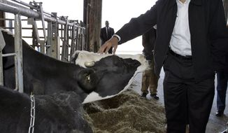 Democratic presidential hopeful Sen. Barack Obama (D-Ill.) pets a cow as he tours the dairy complex and barns of Penn State University in University Park, Pa., on March 30, 2008. (Associated Press) **FILE**