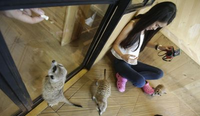 In this Sept. 27, 2016 photo, a customer plays with meerkats at Little Zoo Cafe in Bangkok, Thailand. In Asia, where the first cat cafe opened more than a decade ago, the concept has moved well beyond felines. At Little Zoo Cafe in Bangkok, meerkats, raccoons and the little foxes with the hugest, softest ears imaginable can be cuddled near plates of crepes and French fries. (AP Photo/Sakchai Lalit)