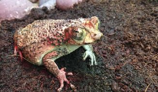 This Oct. 12, 2016 photo provided by the Oakland Zoo shows one of two female Puerto Rican Crested Toads that bred almost 3000 tadpoles at the Oakland Zoo in Oakland, Calif. Thousands of critically endangered baby toads bred at the zoo flew to Puerto Rico to re-establish a population of technicolor native toads that had long been thought extinct. (Erin Harrison/The Oakland Zoo via AP)