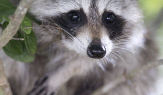 A raccoon peers down from a tree at Bill Baggs Cape Florida State Park, Wednesday, Jan. 14, 2015 in Key Biscayne, Fla. According to the Florida Fish and Wildlife Conservation Commission, raccoons are common throughout the state and feed on fruits, plants, eggs, crustaceans, small animals, and garbage. (AP Photo/Wilfredo Lee)