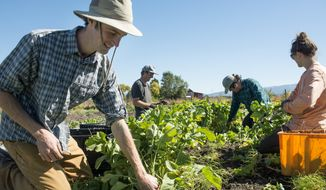 ADVANCE FOR WEEKEND EDITIONS, NOV. 12-13 - In this Sept. 28, 2016 photo, Dylan Strike, owner of Strike Farms, harvests black Spanish radishes at Strike Farms outside Bozeman, Mont. (Rachel Leathe/Bozeman Daily Chronicle via AP)