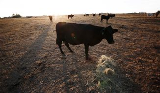 FILE - In this Oct. 26, 2016, file photo, one of the remaining cows on Alabama farmer David Bailey's farm, walks towards a pile of hay to be fed, surrounded by dirt where ankle deep green grass use to be, acceding to Bailey, in Dawson, Ala. (AP Photo/Brynn Anderson, File)