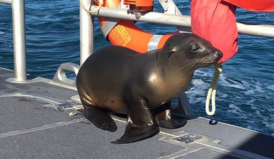 In this Saturday, Jan. 14, 2017 photo released by the U.S. Coast Guard Station Los Angeles, a sea lion hitches a ride on a US Coast Guard boat crew off the coast of Newport Beach, Calif. Officials say the juvenile sea lion was so happy to be rescued after getting hooked by fishing gear off Southern California, it happily jumped into a Coast Guard boat. The animal was handed off to a crew from the Pacific Marine Mammal Center, which brought the sea lion to its rescue facility.   (U.S. Coast Guard via AP)