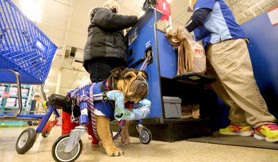 ADVANCE FOR SATURDAY, JAN. 28, 2017 - In this Monday, Jan. 16, 2017 photo, Butterfly, a bulldog, stands by while her owner, Jane Wickler, helps a customer at PetSmart in Dubuque, Iowa. Wickler, who works at the store, often brings Butterfly with her. (Jessica Reilly /Telegraph Herald via AP)