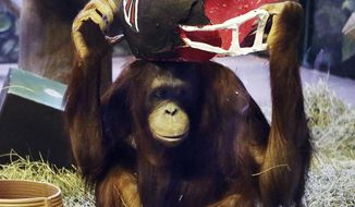 Orangutan Acara touches a paper mache Atlanta Falcons helmet first at Utah's Hogle Zoo in Salt Lake City on Thursday, Feb. 2, 2017, and therefore designates the Falcons to win the Super Bowl.   (Ravell Call/The Deseret News via AP)
