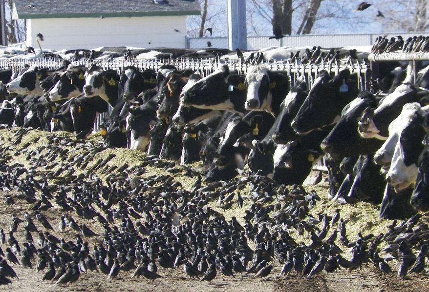 In this undated photo provided by the USDA Animal and Plant Health Inspection Service, a flock of European starlings litter a feedlot in Fallon, Nev. Land owners surprised to discover tens of thousands of dead birds across the high desert are criticizing the federal government over a mass killing of starlings in northern Nevada. An Agriculture Department spokesman said a pesticide was used to destroy the birds to prevent the spread of disease to dairy cows. Some area residents, however, say the government should have done more to alert the public and to dispose of the dead birds. (AP Photo/USDA APHIS, Jack Spencer) ** FILE **
