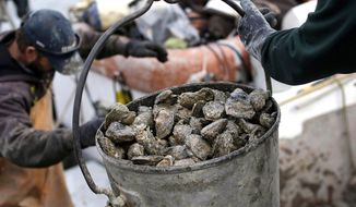 FILE - In this Dec. 20, 2013 file photo, oysters are unloaded on Deal Island, Md. Researchers outlined in a report published in February 2017, that a new strain of disease-causing bacteria has been found thriving along the Atlantic Coast which can contaminate oysters or other shellfish. (AP Photo/Patrick Semansky, File)