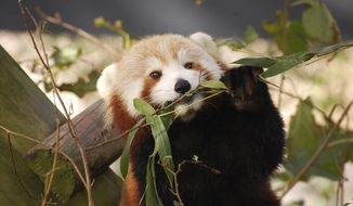 In this Oct. 4, 2016 photo provided by the Virginia Zoo, Sunny, a Red Panda, appears in her habitat at the Virginia Zoo in Norfolk, Va. Zoo spokeswoman Ashley Grove Mars said Sunny, was in her habitat on the evening of Monday, Jan. 23, 2017, but could not be found Tuesday, Jan. 24, 2017, and has been missing since. (Virginia Zoo via AP)