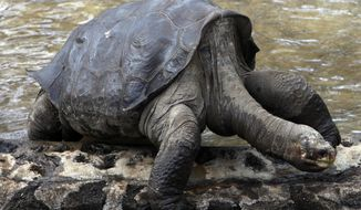 FILE - In this May 8, 2009 file photo, Lonesome George, the last giant terrestrial turtle of the Geochelone species abigdoni, is seen at Galapagos National Park in Puerto Ayora on Santa Cruz Island in the Galapagos, Ecuador. The turtle's embalmed and preserved body will be returned to the Galapagos Friday, Feb. 17, 2017, where it will be on permanent display to the public. (AP Photo/Dolores Ochoa, File)