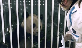 In this Wednesday, Feb. 22, 2017 photo released by Xinhua News Agency, a staff member of Sichuan Entry-Exit Inspection and Quarantine Bureau checks the condition of giant panda Bao Bao upon her arrival at Chengdu Shuangliu International Airport in Chengdu, the capital of southwest China's Sichuan Province. Bao Bao, an American-born panda cub, arrived in China on Wednesday evening after leaving the National Zoo in Washington. (Liu Kun/Xinhua via AP)