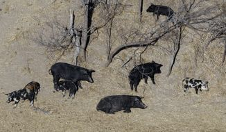 "FILE - In this Feb. 18, 2009 file photo, feral pigs roam near a Mertzon, Texas ranch. The Texas agriculture commissioner announced Tuesday, Feb. 21, 2017, that he has approved the use of a poison that he says may herald a ""feral hog apocalypse"" in a state where an estimated 2.5 million hogs roam. Commissioner Sid Miller said this week that bait food will be laced with warfarin, which is used as a blood thinner but has proven lethal to hogs. (AP Photo/Eric Gay, File)"
