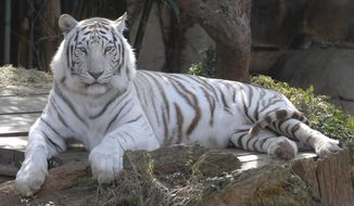 "In an undated photo provided by the Audubon Nature Institute, King Zulu, a white Bengal tiger, sits in his enclosure at the Audobon Zoo in New Orleans. Officials with the Audubon Nature Institute said that the 20-year-old male tiger was euthanized Sunday, March 5, 2017,  after a ""steep decline in health.""   (Audubon Nature Institute via AP)"