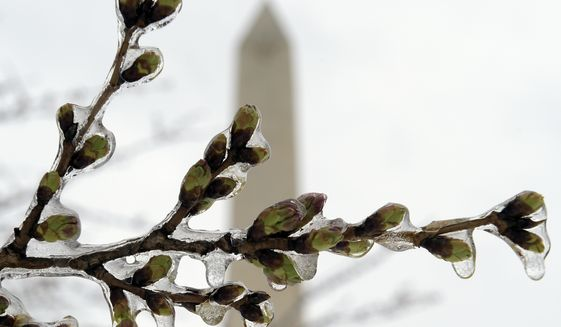 FILE - In this March 14, 2017 file photo,  Washington's famed cherry blossoms are covered in ice during a late winter storm in Washington, looking toward the Washington Monument. The National Park Service is concerned about the impact of cold weather on the blossoms. (AP Photo/Susan Walsh)