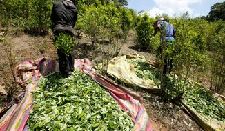 Coca cultivation surged last year in Colombia and now covers more territory than it did when a multibillion-dollar U.S.-led eradication campaign began 16 years ago, according to a government survey, part of a trend across Latin America that is setting of alarms in Washington. (Associated Press)