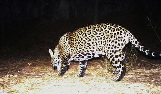 This Dec. 1, 2016, file still image from video provided by Fort Huachuca shows a wild jaguar in southern Arizona. Conservationists are making another push to get federal wildlife officials to devote more resources to the re-establishing of wild jaguars in the American Southwest. (Fort Huachuca via AP, File)