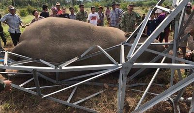In this Tuesday, March 21, 2017 photo provided by Wildlife Alliance,  the body of a dead wild elephant lies down near Cardamom National Park of Kampong Speu province in western of Phnom Penh, Cambodia.  A park ranger in Cambodia said an endangered wild elephant has died after an electrical pole fell and sent a powerful current surging through the animal. (Wildlife Alliance via AP)