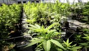 In this May 5, 2015 photo, marijuana plants grows at a Minnesota Medical Solutions greenhouse in Otsego, Minn.  (Glen Stubbe/Star Tribune via AP)