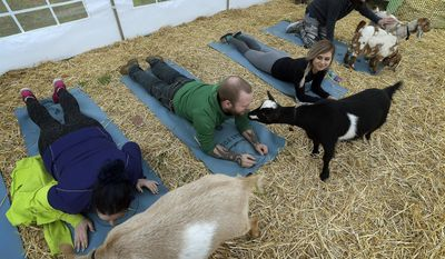 In this Wednesday, March 29, 2017 photo, Scott Miller, of Portland, gets a goat kiss during Goat Yoga class in Corvallis, Ore. (Andy Cripe /The Corvallis Gazette-Times via AP)