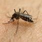 The Centers for Disease Control and Prevention is worried that unseasonably warm spring temperatures may spawn extra Zika-spreaking mosquitoes this summer. (Associated Press)