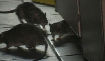 FILE - In this Feb. 23, 2007, file photo made from video, rats move around inside a KFC-Taco Bell restaurant in the Greenwich Village neighborhood of New York. Yum Brands Inc., the parent company of KFC, Taco Bell and Pizza Hut, said Wednesday, Feb. 28, 2007, that it had temporarily closed several other New York City restaurants owned by the franchisee that operated the KFC and hired a leading rat expert to review the company's standards. As smartphone cameras and social media have shifted power to consumers, they are forcing companies to be more nimble in handling matters they might have tried to sweep under the rug before. (Rafael Garcia Jr. via AP Video, File)