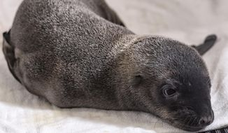 In this photo provided by SeaWorld San Diego, a day-old California sea lion pup rests at the Animal Care Center in San Diego, Calif., Thursday, April 27, 2017. The park is caring for the sea lion pup that was unexpectedly born to a sick mother. The park says the pup was discovered Wednesday when a team went to check the health of her mother, who was rescued from an Oceanside beach on Tuesday. (Mike Aguilera/SeaWorld San Diego via AP)