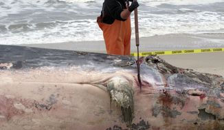 Jay Pagel, a field technician with the Marine Mammal Stranding Center, uses a large knife mounted on a 6-foot pole to dismember a 43-foot whale that washed ashore in Toms River N.J. on Wednesday April 26, 2017. The whale, whose cause of death could not immediately be determined, was dismembered and carted away. (AP Photo/Wayne Parry)