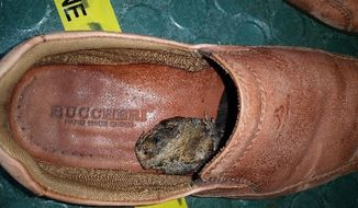 In this undated photo provided by Australia's Department of Agriculture and Water Resources, a black-spined toad is seen inside a shoe of a passenger from Indonesia, in Cairns, northeast Australia.  Australian quarantine authorities on Thursday, May 11, 2017, urged travelers through Asia to avoid bringing in hitchhiking amphibians after a passenger arrived at an airport with a dead Indonesian toad in his shoe.  (Australia's Department of Agriculture and Water Resources via AP)