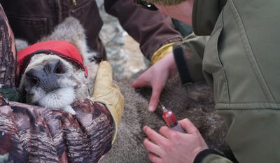 This photo taken Feb. 26, 2017, shows Dr. Mary Wood, Wyoming state wildlife veterinarian, drawing blood from a mule deer that was captured for testing southeast of Casper, Wyo. (Christine Peterson/The Casper Star-Tribune via AP)